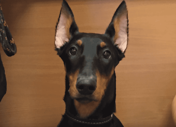 Доберман перед купированием ушей