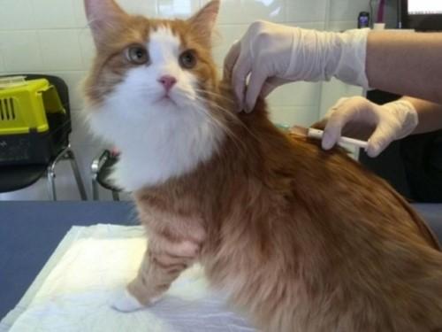 прививка кошке