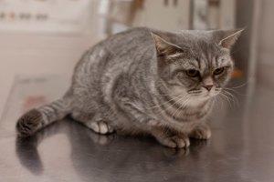 кошка на осмотре у ветеринара