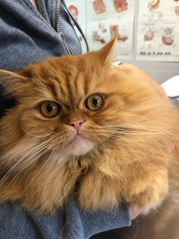 лечение почек у кошек